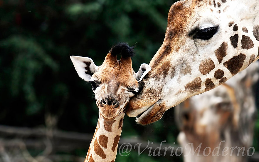 Amor Maternal Jirafas