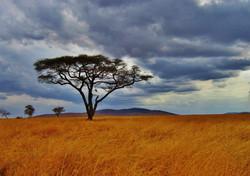 acacia-tree-277352_1920
