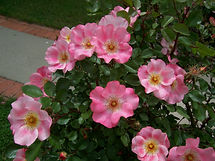 our rosebush 5.jpg