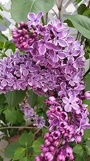 R&L's lilacs 2016 3.jpg