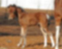 Foal2011picsBayMuseLweb.jpg