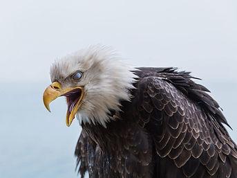 Bald Eagle Image for Web Site - Dec 11 2