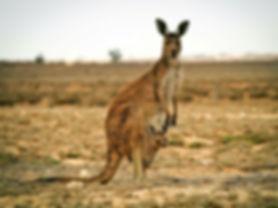 kangaroo-stock-gty-jef-191003_hpMain_4x3