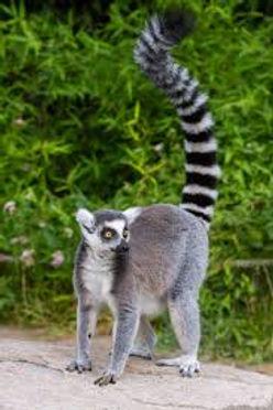 Lemur - Image for Web Site - Dec 10 2019