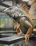 Iguana Image - ESL Vocabulary - Activity