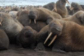 Walruses-and-their-calves-packed-togethe