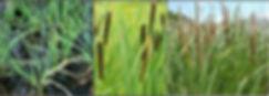 Typhas para depuración de aguas residuales