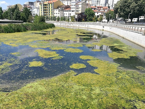 Bloom de microalgas en río urbano