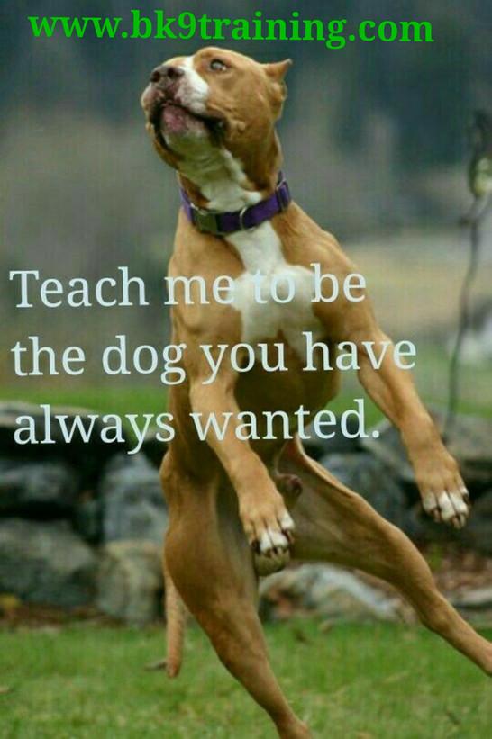 Teach pitbull