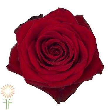 Freedom Rose