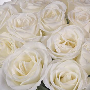 Tibet Roses