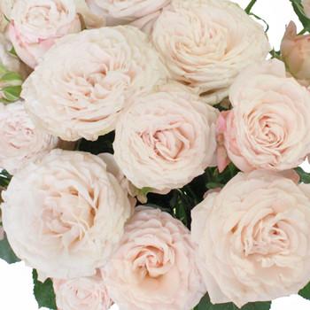 Palest Pink Garden Spray Roses