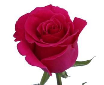 Hot Lady Rose