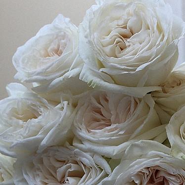 White Ohara Roses
