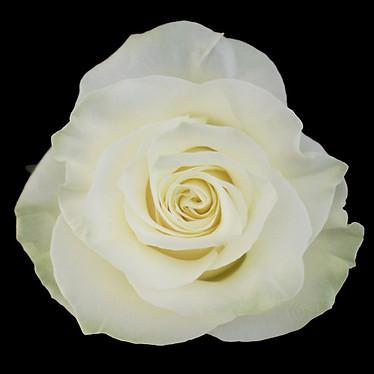 Mondial Rose
