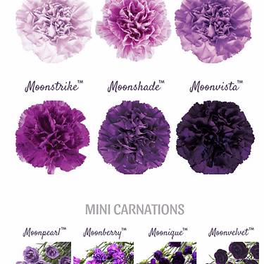 Moon Carnations