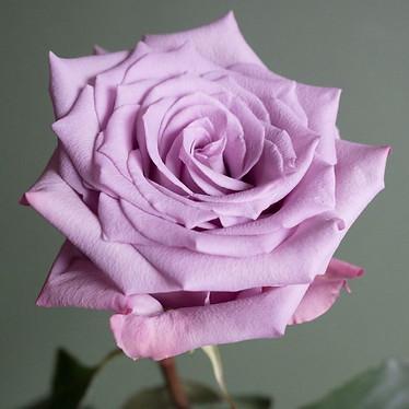 Avante Garde Rose