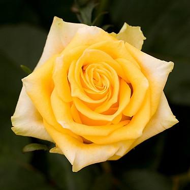 Sun City Rose
