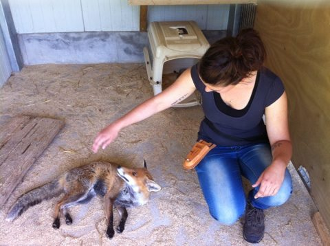 Renard en dressage animalier