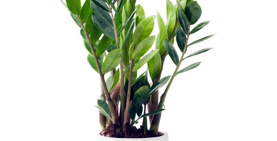 Zamioculcas/ Plante ZZ