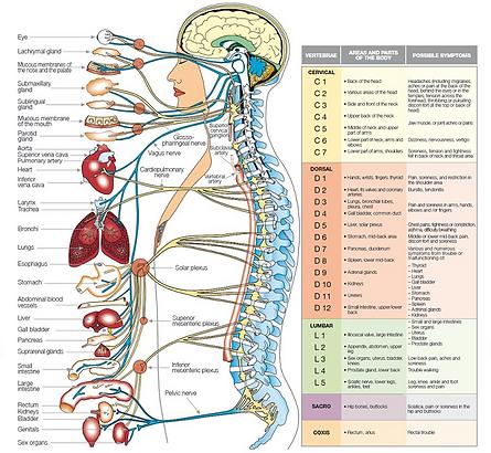 Vertebral Column and its Segments