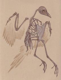 Gallinuloides - Eocene