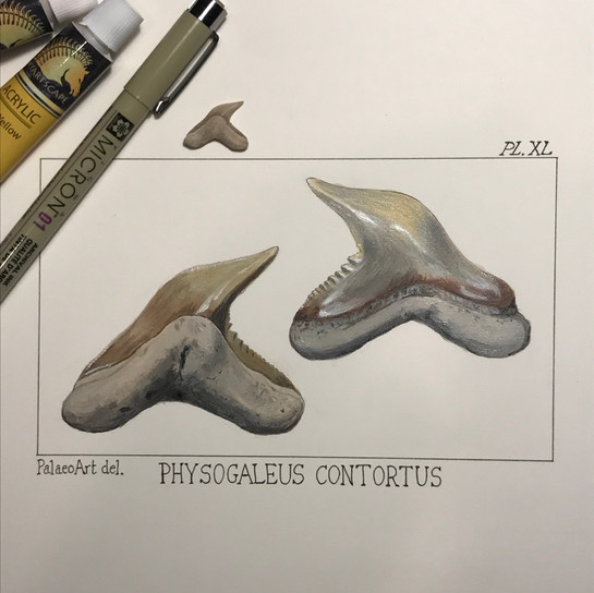 Physogaleus contortus