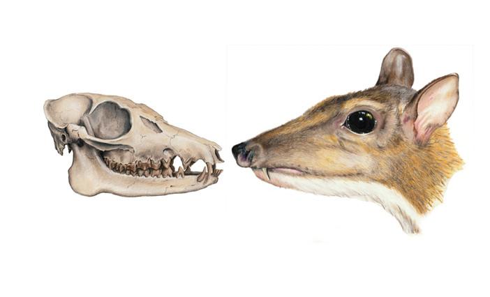 Hypertragulus - Oligocene