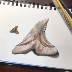 Snaggletooth Shark Tooth