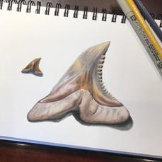 Snaggletooth Shark Tooth