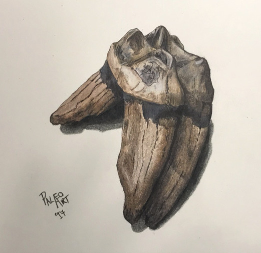 Tapir molar