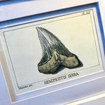 Snaggletooth Shark