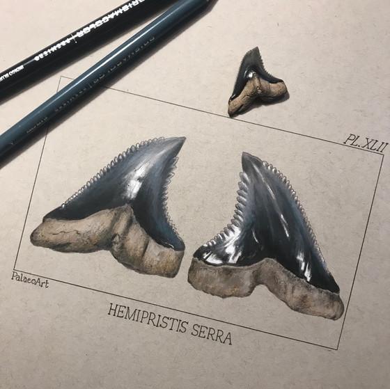 Black/Blue Snaggletooth Shark