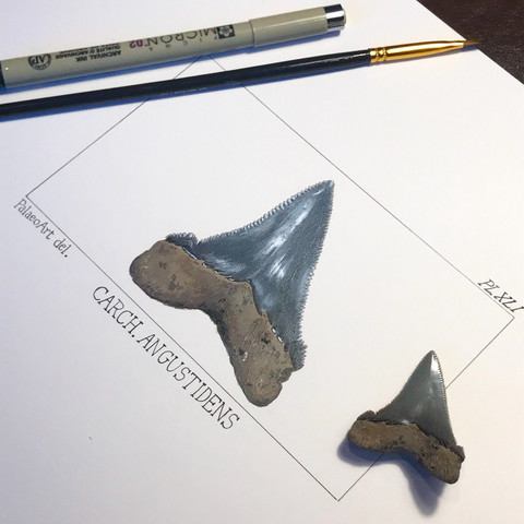Carcharocles angustidens