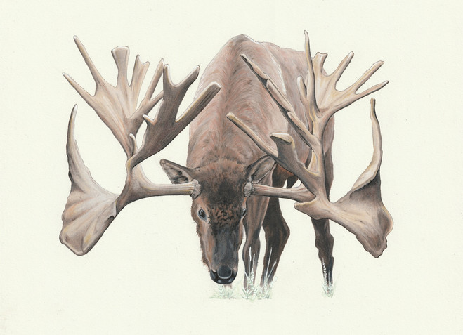 Stag Moose