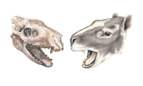 Oreodont Reconstruction