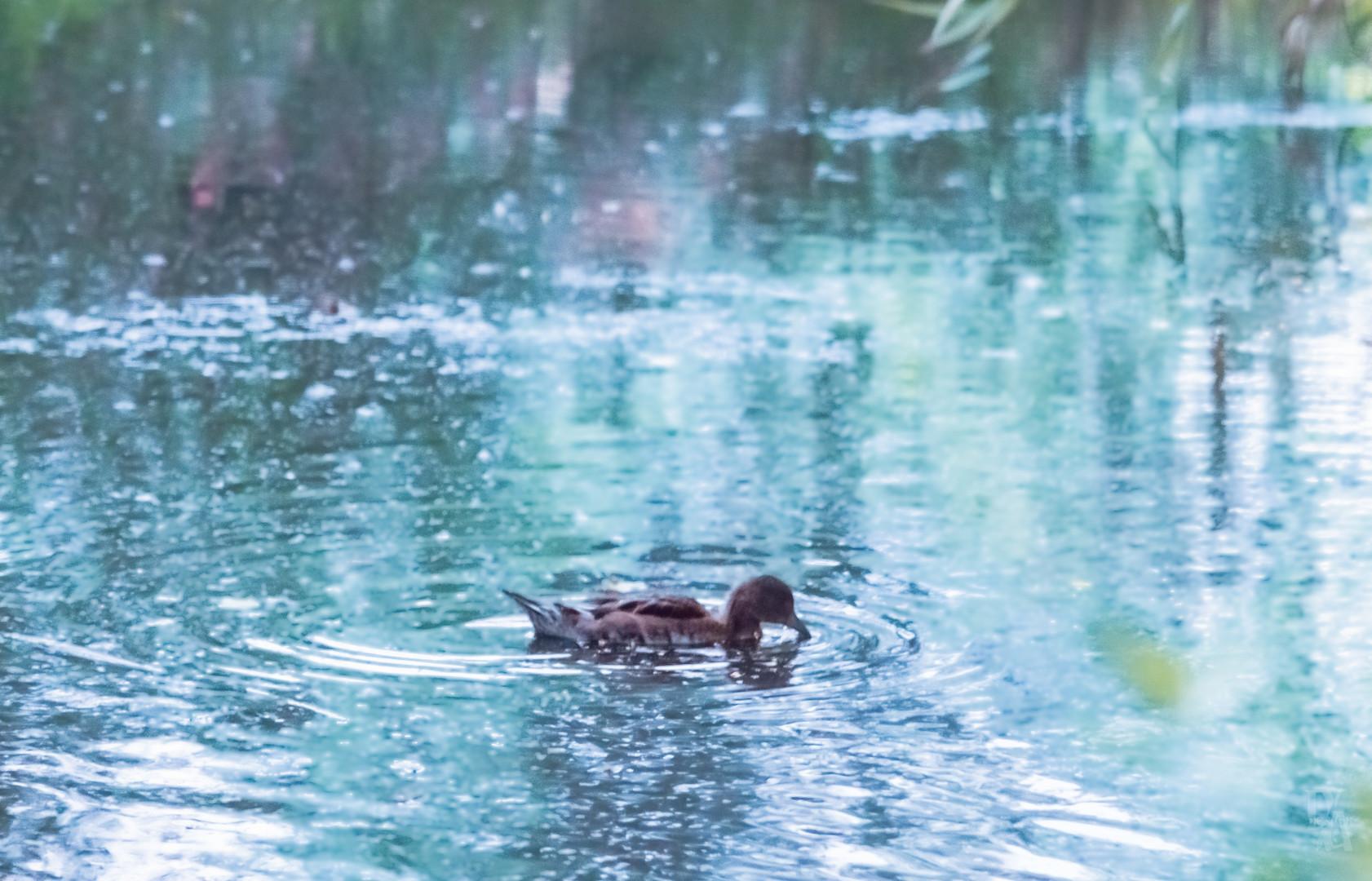 Lonely ducklin (1 of 1).jpg