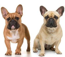 Fawn-French-Bulldogs.jpeg