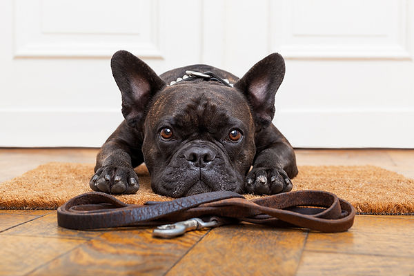 A-Guide-to-French-Bulldog-Training-Potty