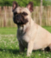 french-bulldog-e1533691699982.jpg