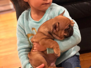 Frenchie Puppy Love..