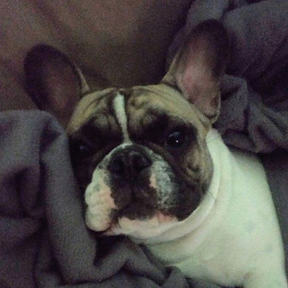 Franceschi Frenchies Enzo. Enzo is from
