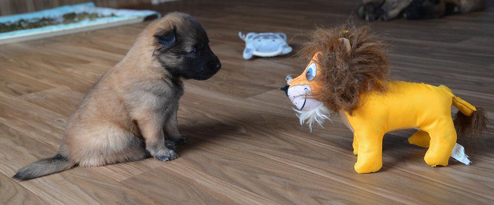 DSC_7063-puppy-lion.jpeg