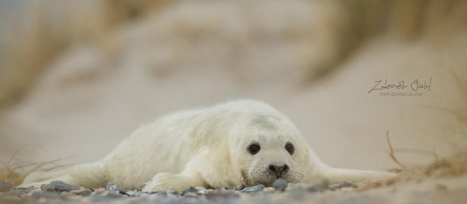 Helgoland - cesta za malými tuleni