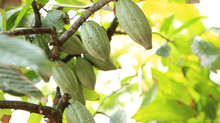 Making zero deforestation cocoa a reality