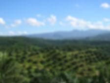 Oil_palm_plantation_in_Cigudeg-03 (1).jp