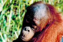 Orangutan Habitat Loss and Palm Mills in Indonesia: Our first Intelligence Report