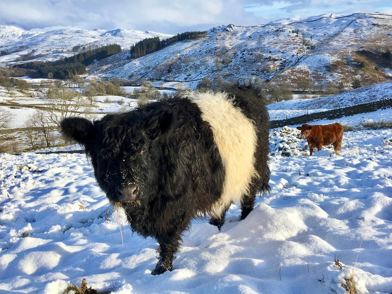 The mountains are looking gorgeous and being tough breeds, the Belties and Shorthorns seem quite happy in the snow.