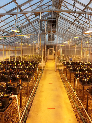 Phytogen, breeding program