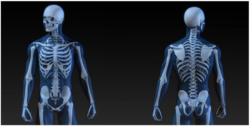 Salud Ósea - conozca su Anatomía Ósea